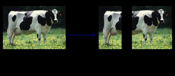 split cow